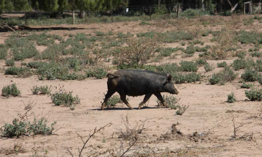 feral pig february the fence 2019