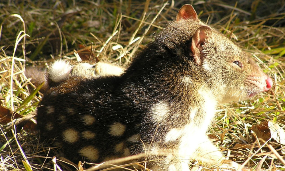 Image: Tiger quoll is listed as a vulnerable species in New South Wales, by Pierre Pouliquin.