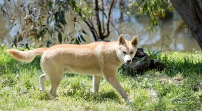 Have your say on the NSW Wild Dog Fence Extension…