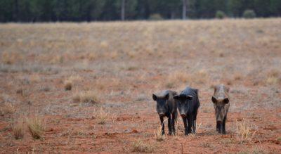 Landholders in the Western region encouraged to consider pig strength…